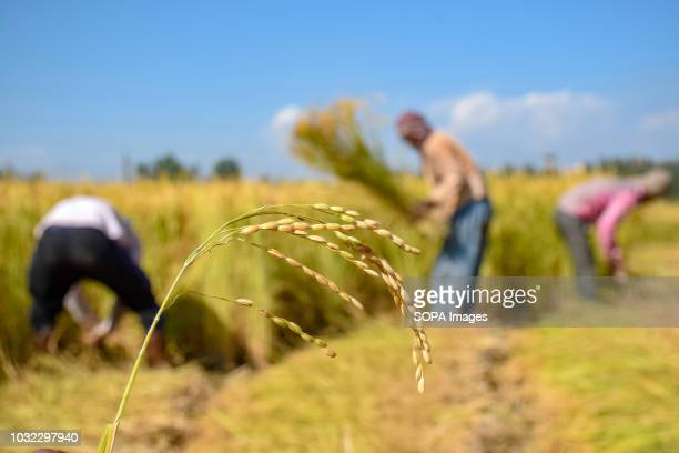 BUDGAM JAMMU KASHMIR INDIA Harvested paddy crops seen blooming after the first harvesting season of the year in Budgam Rice is the staple food for...