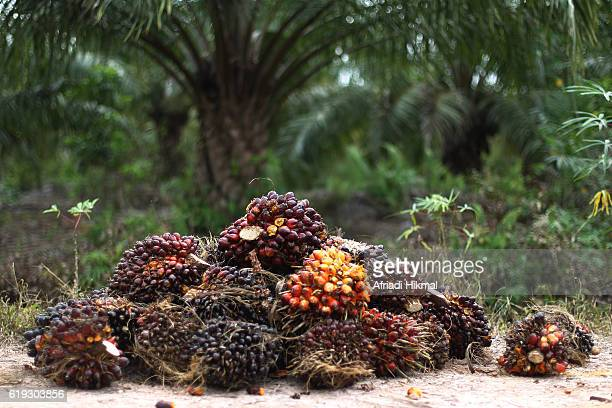 Harvested palm oil fruit