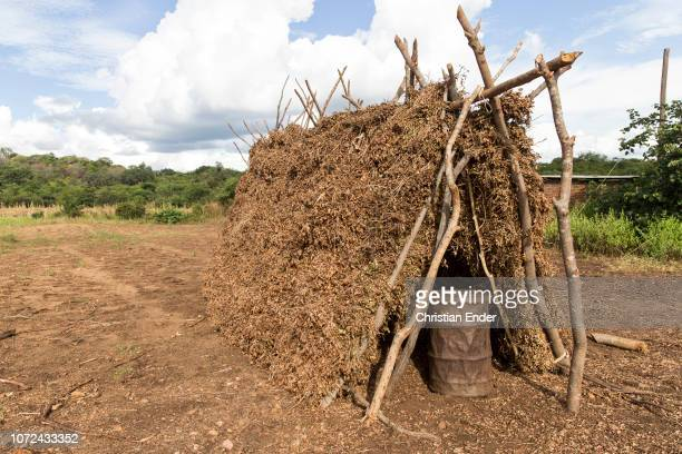 Harvested peanuts are dried in a field for further processing