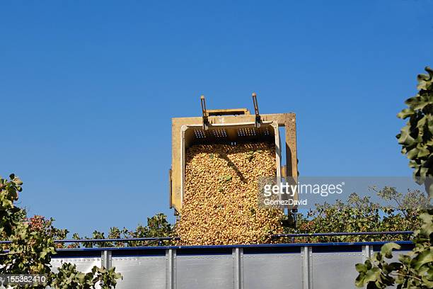 harvested pistachio being loaded into transfer trailer - pistachio tree stock photos and pictures