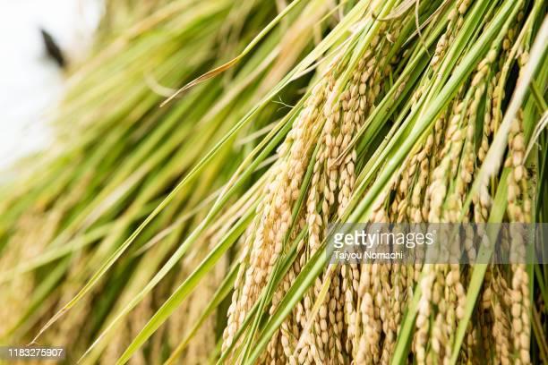 harvested rice - 米 ストックフォトと画像