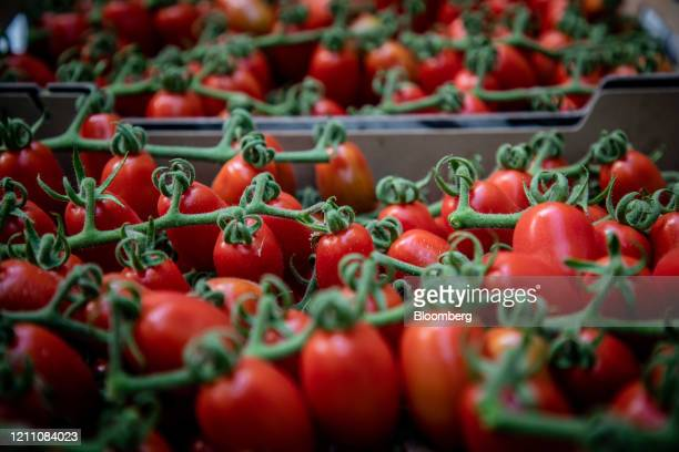 Harvested ripe cherry tomatoes sit in a crate inside the greenhouse at the Hortalisses Pi farm in Girona, Spain, on Friday, April 24, 2020. From...