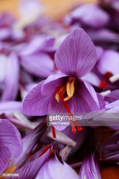 Harvested saffron flowers on a small farm in central France