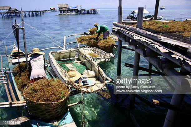 Harvested seaweed deliveries at drying pla
