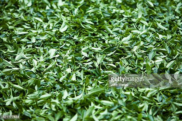 harvested tea leaves, alishan, taiwan - jake warga stock photos and pictures