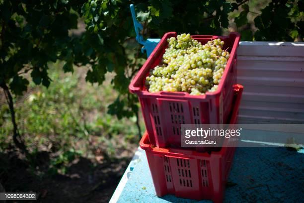 Harvested White Grape in Plastic Crates