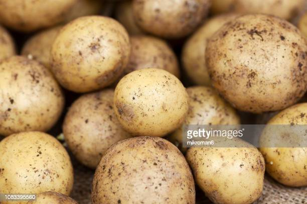 harvested young fresh organic potatoes with soil - root vegetable stock pictures, royalty-free photos & images
