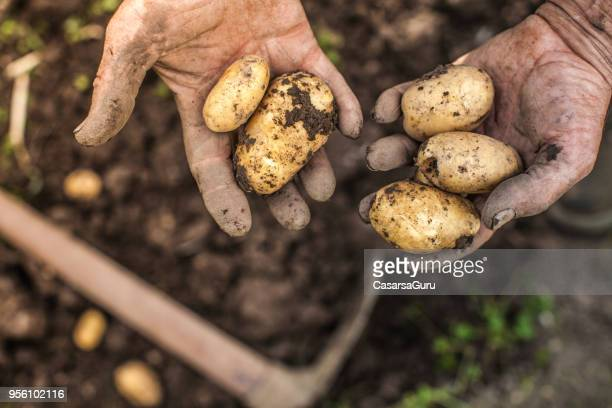 harvested young fresh potato in wheelbarrow - potato harvest stock pictures, royalty-free photos & images