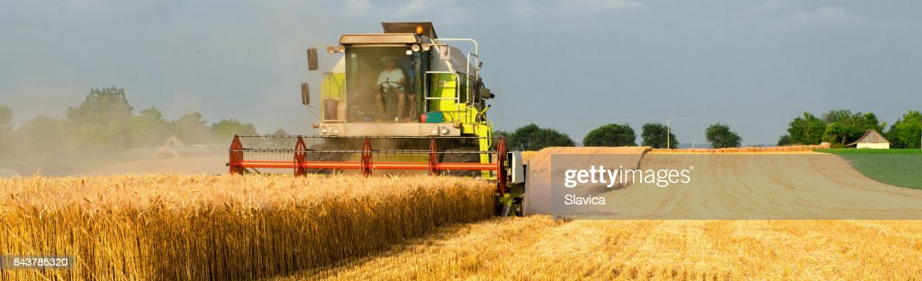 Harvester combine harvesting wheat in summer : Stock Photo