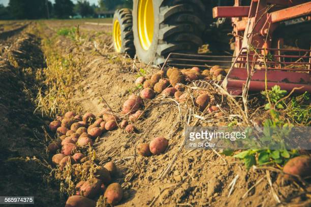 Harvester gathering potatoes in farm field