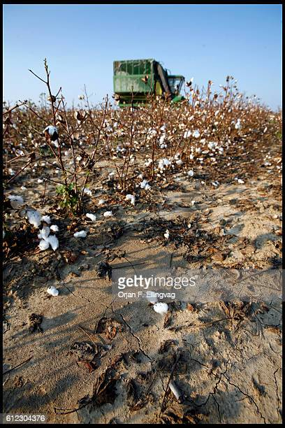 A harvester goes through drought damaged cotton fields on September 16 2006 The plants are too small to be picked efficiently reducing the harvest by...