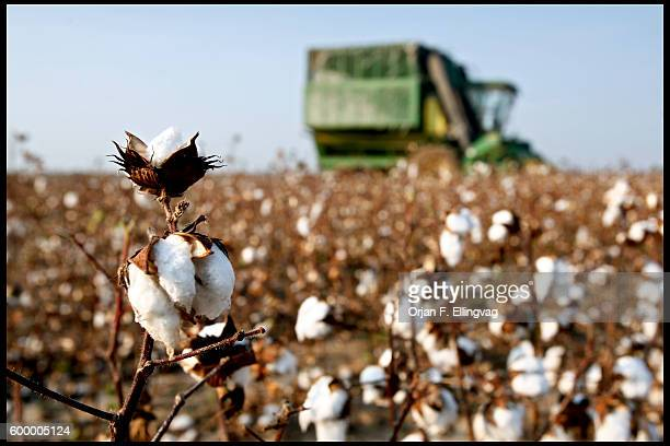 A harvester goes through drought damaged cotton fields The plants are too small to be picked efficiently reducing the harvest by 30%