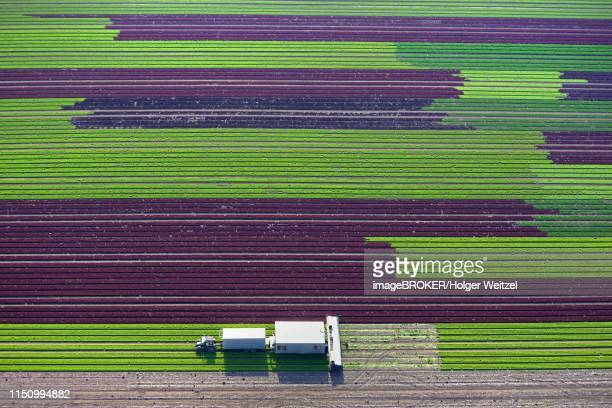 harvester on lettuce field, cultivation of red and green lettuce in rows, schleswig-holstein, germany - シード ストックフォトと画像