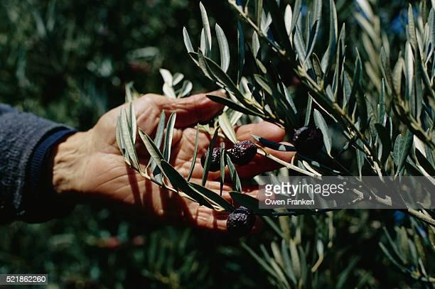Harvester Picking Olives from Branch