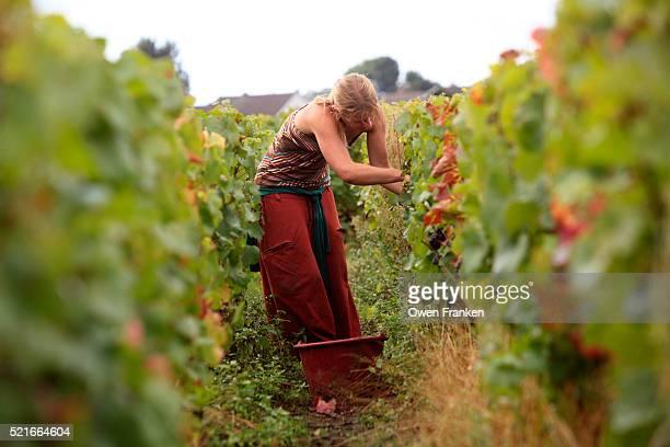 Harvester picking pinot noir grapes for Domaine Comte Senard winery