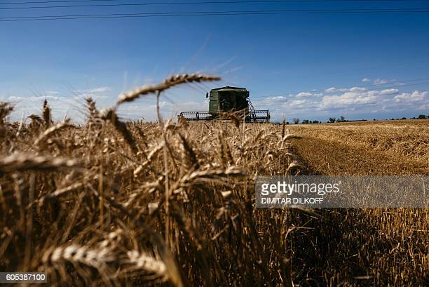 A harvester works in a field of wheat near the southern village of Trud on July 5 2016 While national grain association chief Svetoslav Rusalov...