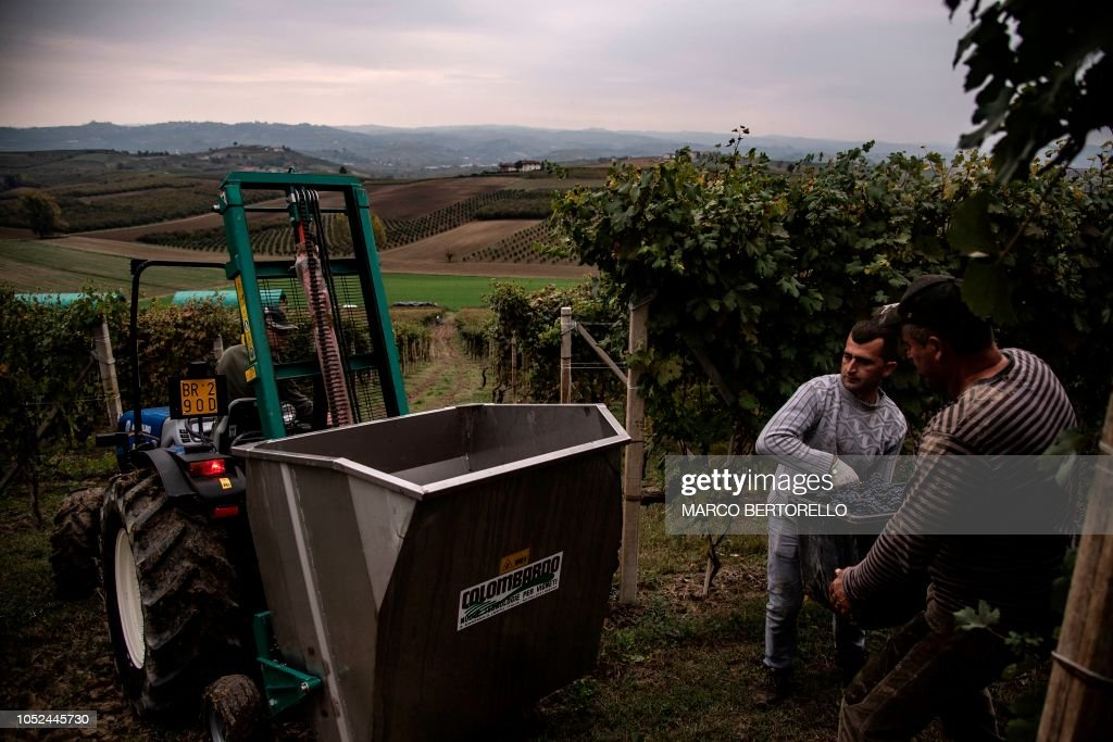 ITALY-AGRICULTURE-VITICULTURE-HARVEST-WINE : News Photo