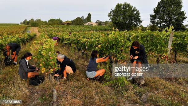 Harvesters pick grapes in the wineyard of Chateau Pre La Lande which produces a bio and vegan wine in SainteFoyLaGrande near Bordeaux on September 21...