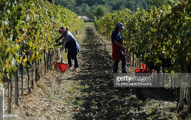 Harvesters pick up grapes during the harvest in Val D'Orcia in the Tuscany region near Pienza on October 9 2008 The Val D'Orcia which extends from...