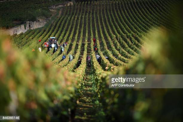 TOPSHOT Harvesters work in a vineyard during the grape harvest of the 'Clos Saint Jacques' a GevreyChambertin Burgundy great vintage wine at the...