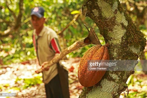 Harvesting a Cacao Pod