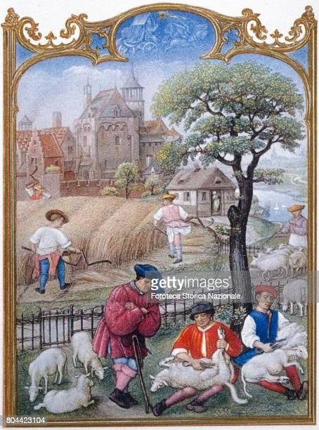 Harvesting and shearing action naturalistic impression framework that portrays the daily life of the time illumination from the Grimani Breviary...