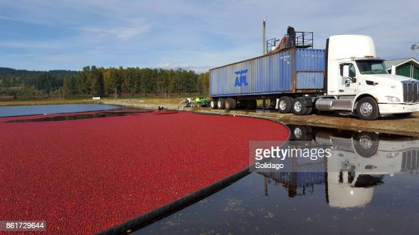 harvesting and shipping the cranberries - cranberry harvest stock pictures, royalty-free photos & images