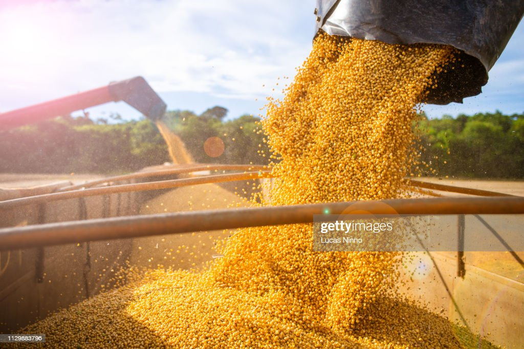 Harvesting and storing soybean : Stock Photo