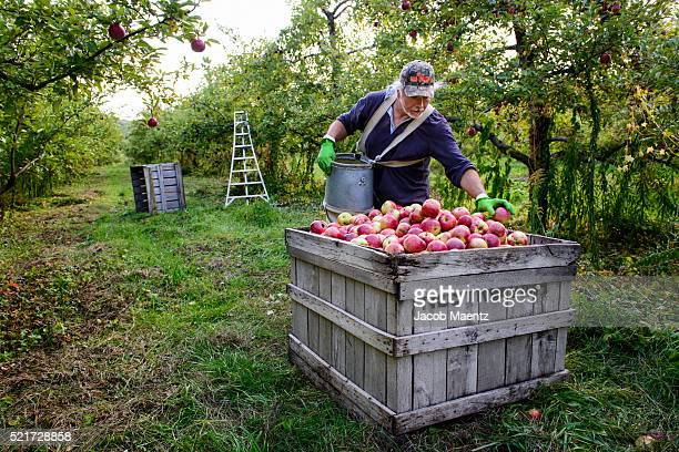 Harvesting apples in orchard