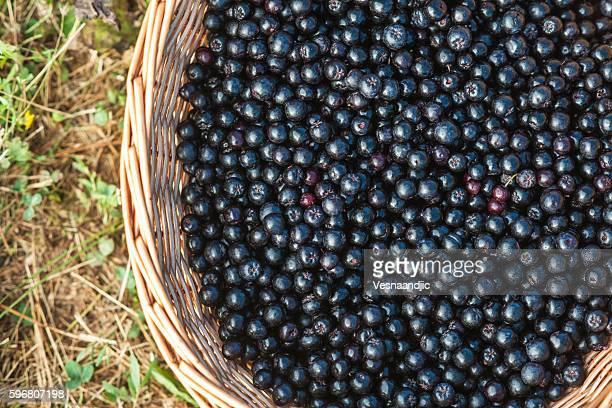 Harvesting Aronia