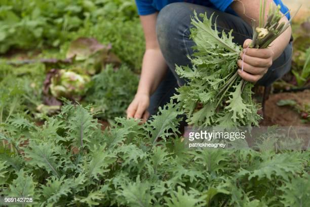 Harvesting Arugula