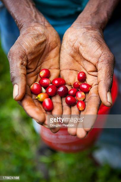 Harvesting Blue Mountain Coffee Beans, jamaica