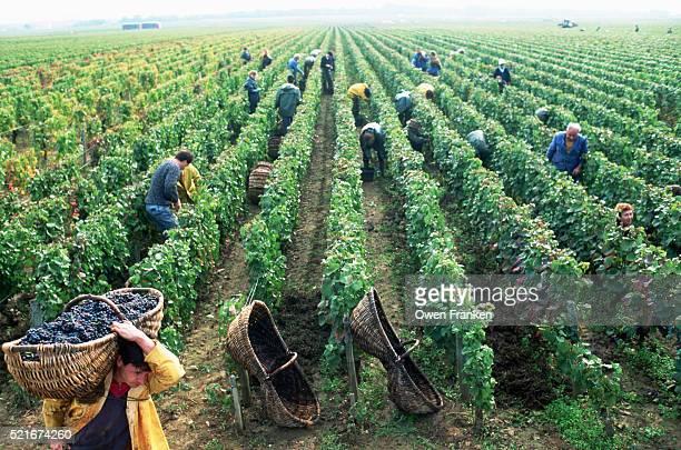 Harvesting Burgundy Wine Vineyards