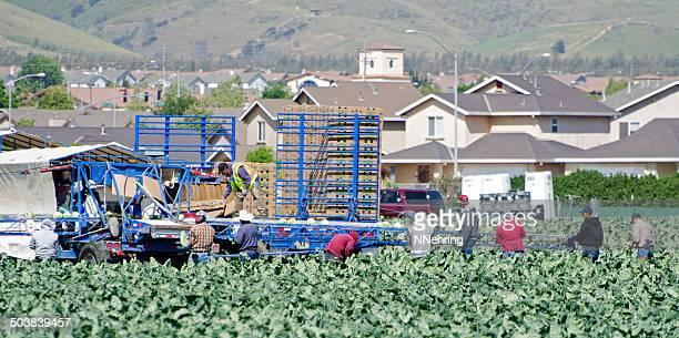 harvesting cauliflower
