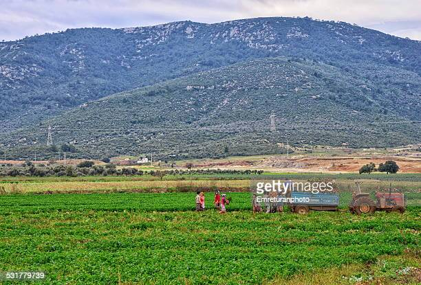 harvesting celery in aegean turkey - emreturanphoto stock pictures, royalty-free photos & images