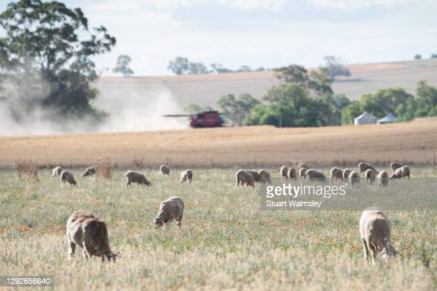 harvesting cereal grain - new south wales stock pictures, royalty-free photos & images