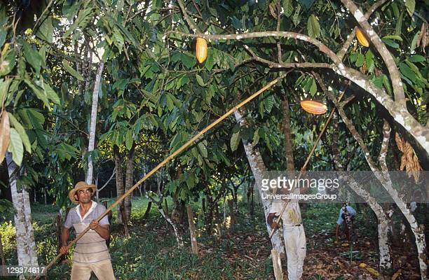 Harvesting Coco Brazil Amazon TomeAcu Vicinity Paragominas A Japanese agroforestry farm carved out of the forest 40 years ago A very successful...