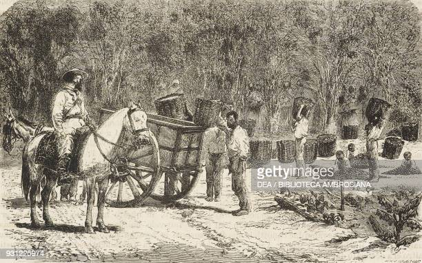 Harvesting coffee on a plantation drawing by Alphonse de Neuville from a photograph from A Journey in Brazil 18651866 by Jean Louis Rodolphe Agassiz...