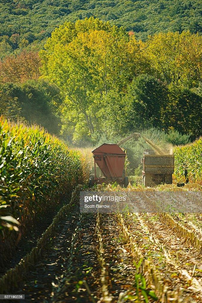 Harvesting corn : Bildbanksbilder