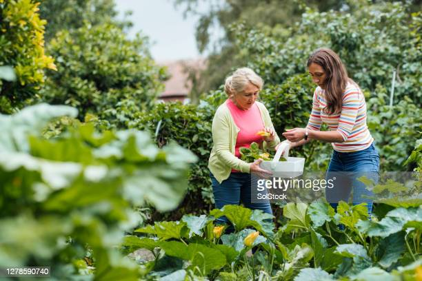 harvesting courgettes - vegetable stock pictures, royalty-free photos & images
