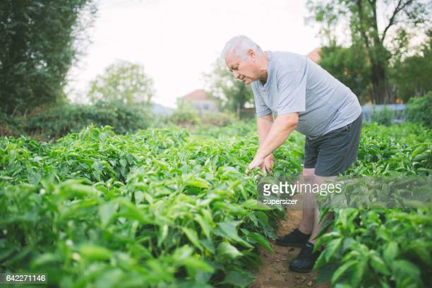 harvesting crops - marrow squash stock pictures, royalty-free photos & images