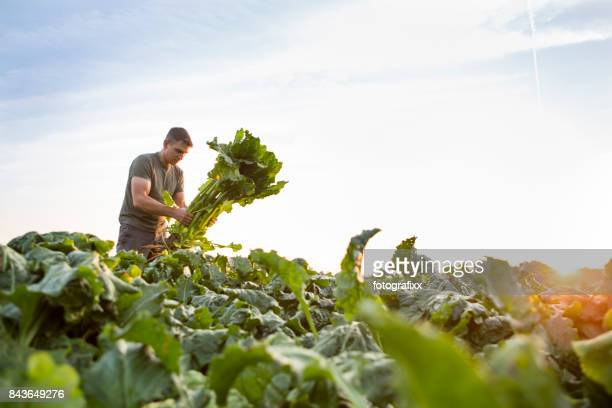 Ernte: Bauer steht auf seinem Gebiet, befasst sich mit Zuckerrüben