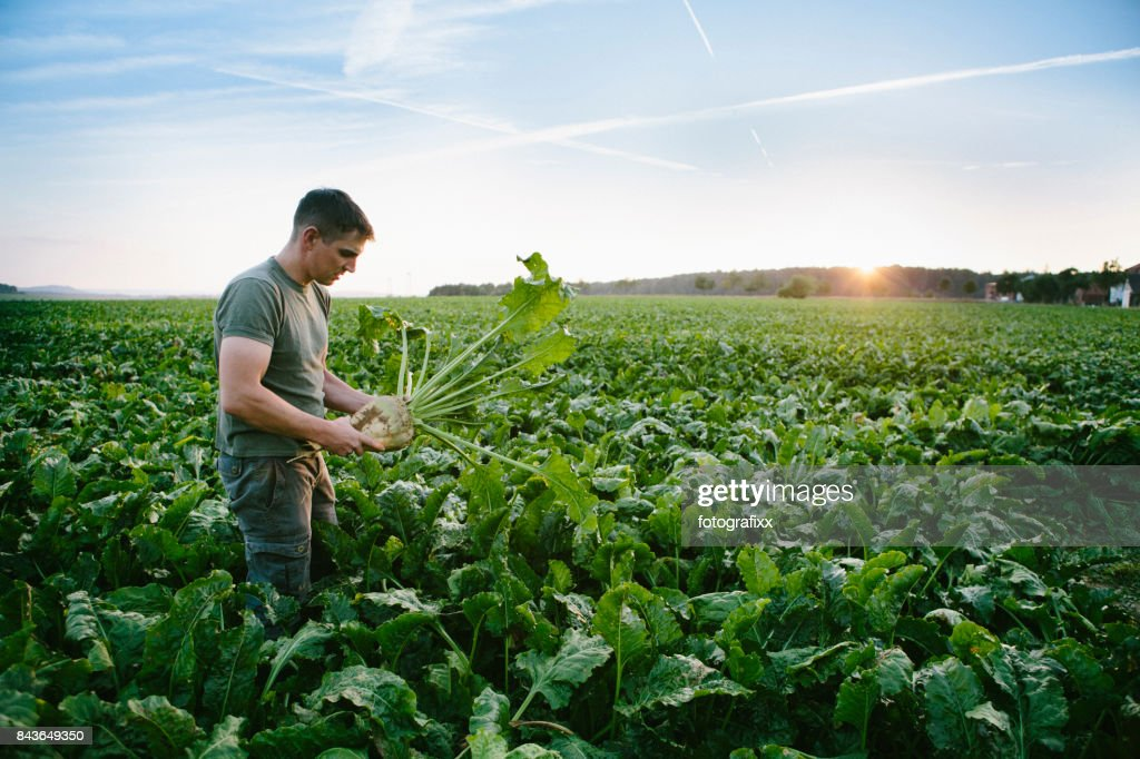 harvesting: farmer stands in his field, looks at sugar beets : Stock Photo