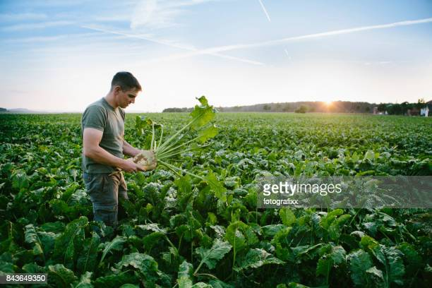 harvesting: farmer stands in his field, looks at sugar beets