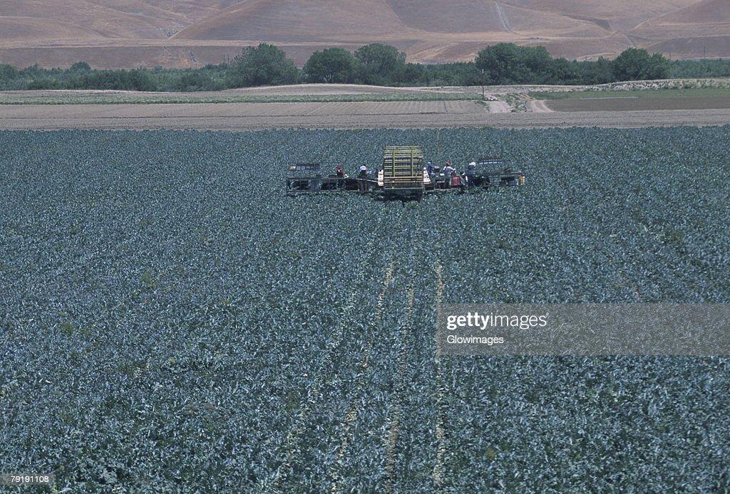 Harvesting field of cauliflower : Foto de stock