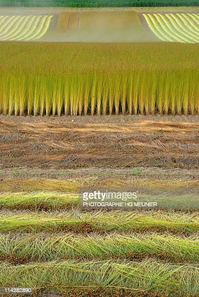 Harvesting Flax Caux