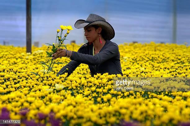 harvesting flowers - colômbia imagens e fotografias de stock