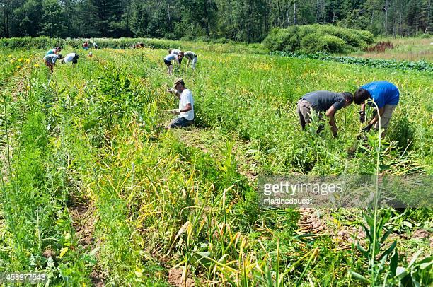 Harvesting garlic on a small family farm in Frelighsburg