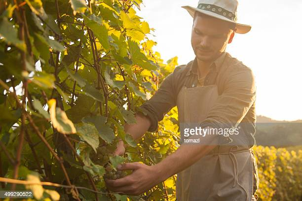 Harvesting grapes at dusk