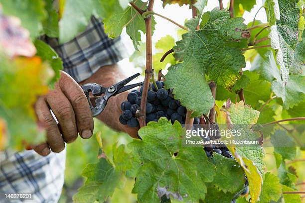 harvesting grapes - grape harvest stock pictures, royalty-free photos & images